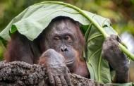 اورانگوتان ها از خاطرات قدیمی صحبت می کنند